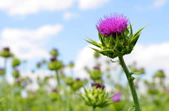 Milk thistle field